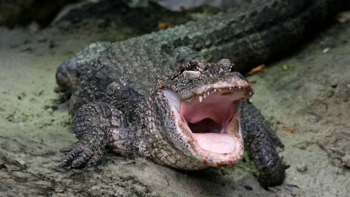Ig Nobel 2020 : un alligator chinois sous hélium récompensé par les prix de la science insolite