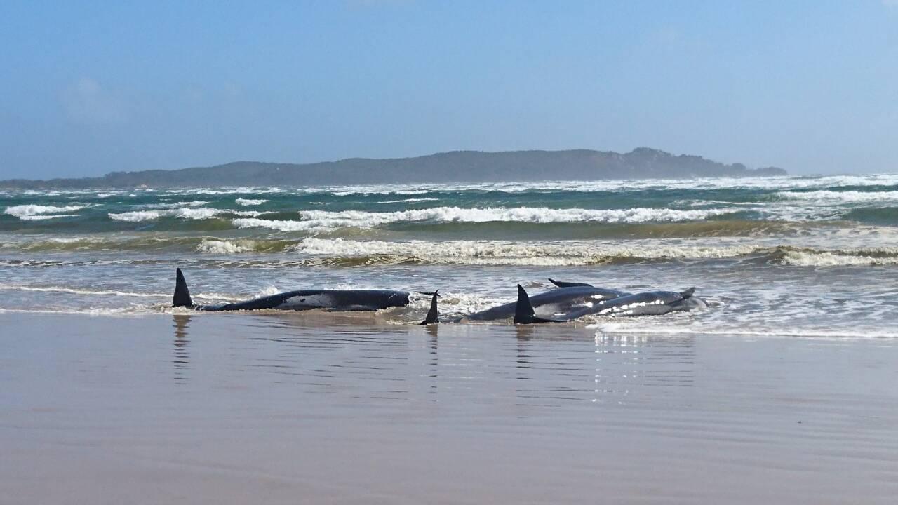 Tasmanie : mobilisation en cours pour tenter de sauver des dizaines de cétacés coincés dans une baie