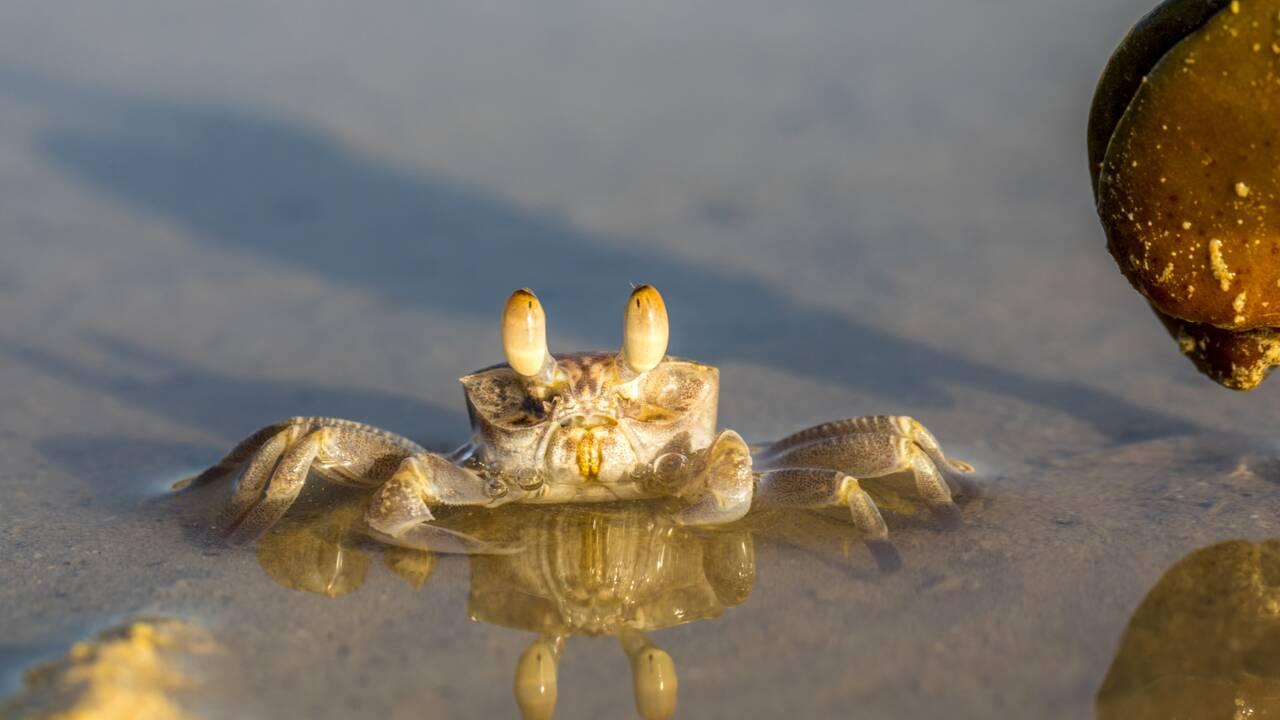 En mer Rouge, ce poisson des récifs chasse les crabes en se projetant hors de l'eau