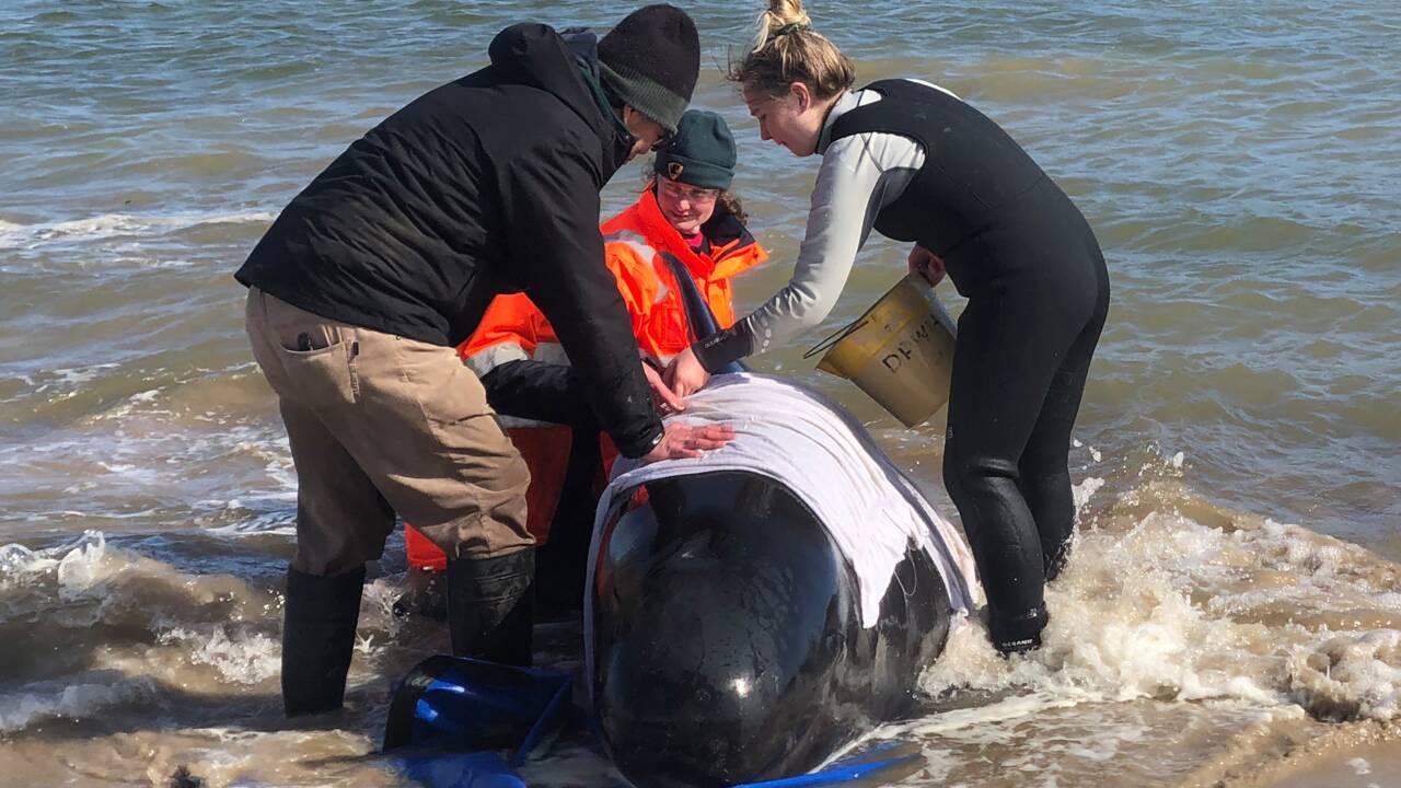 """Hécatombe de """"dauphins-pilotes"""" coincés dans une baie en Tasmanie"""