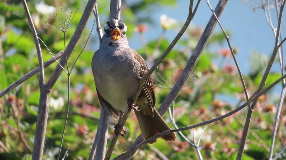 A San Francisco, les oiseaux ont arrêté de s'égosiller pendant le confinement
