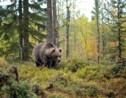 Des loups, des ours et des gloutons : en Finlande, on est parti à l'affût des grands prédateurs