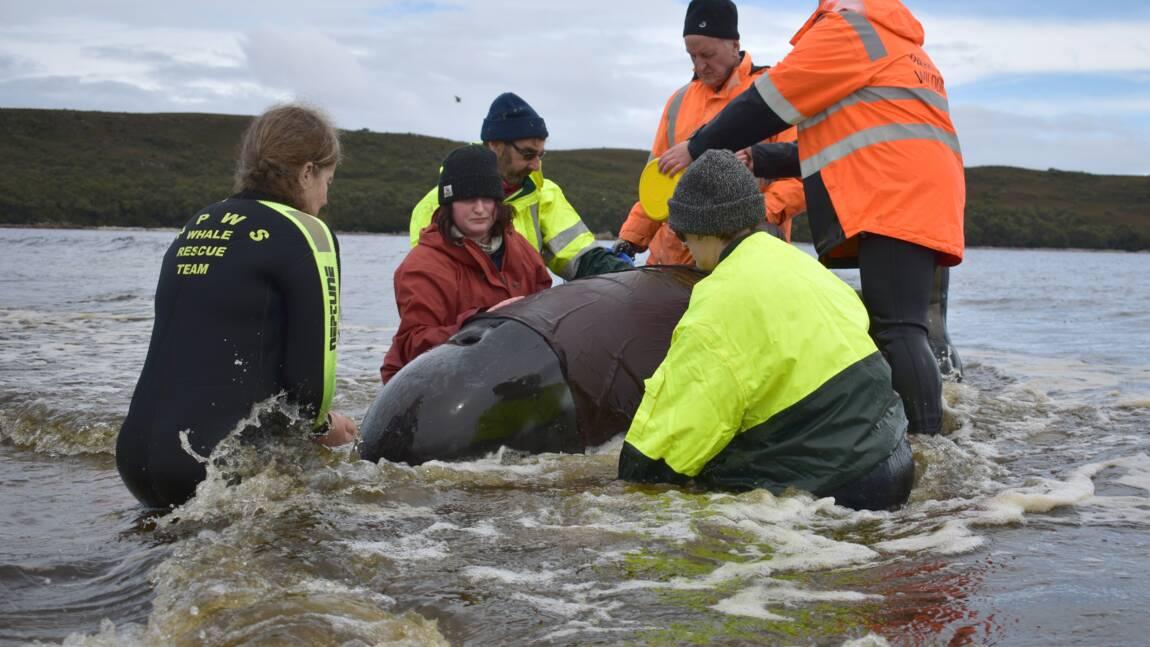 Un 110ème globicéphale secouru en Tasmanie