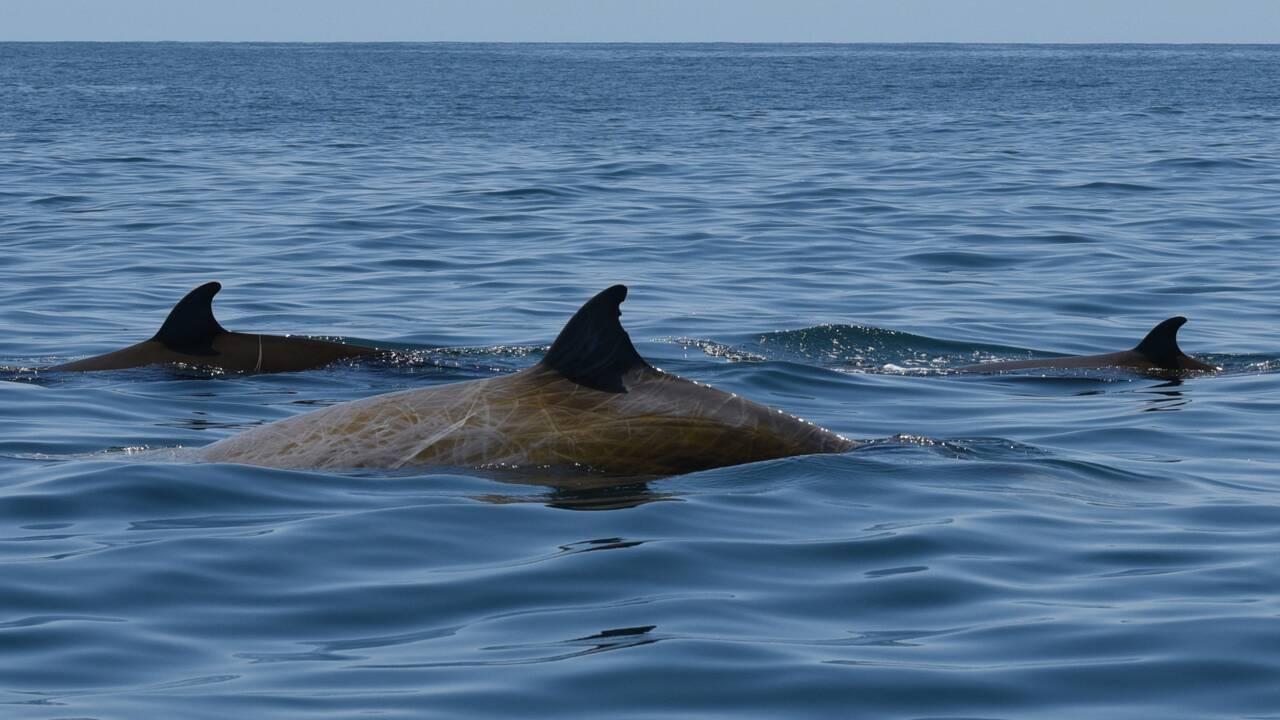 Une baleine de Cuvier établit un nouveau record de plongée