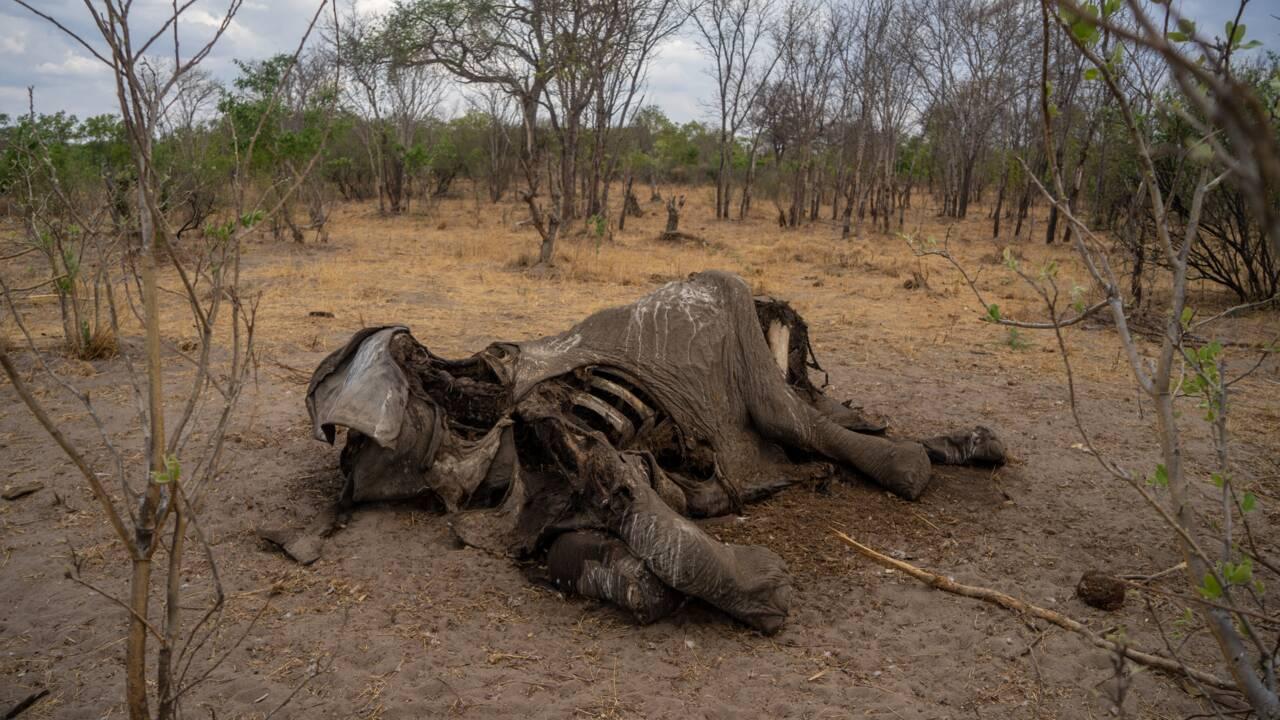 Zimbabwe: mort de douze autres éléphants, la même bactérie soupçonnée