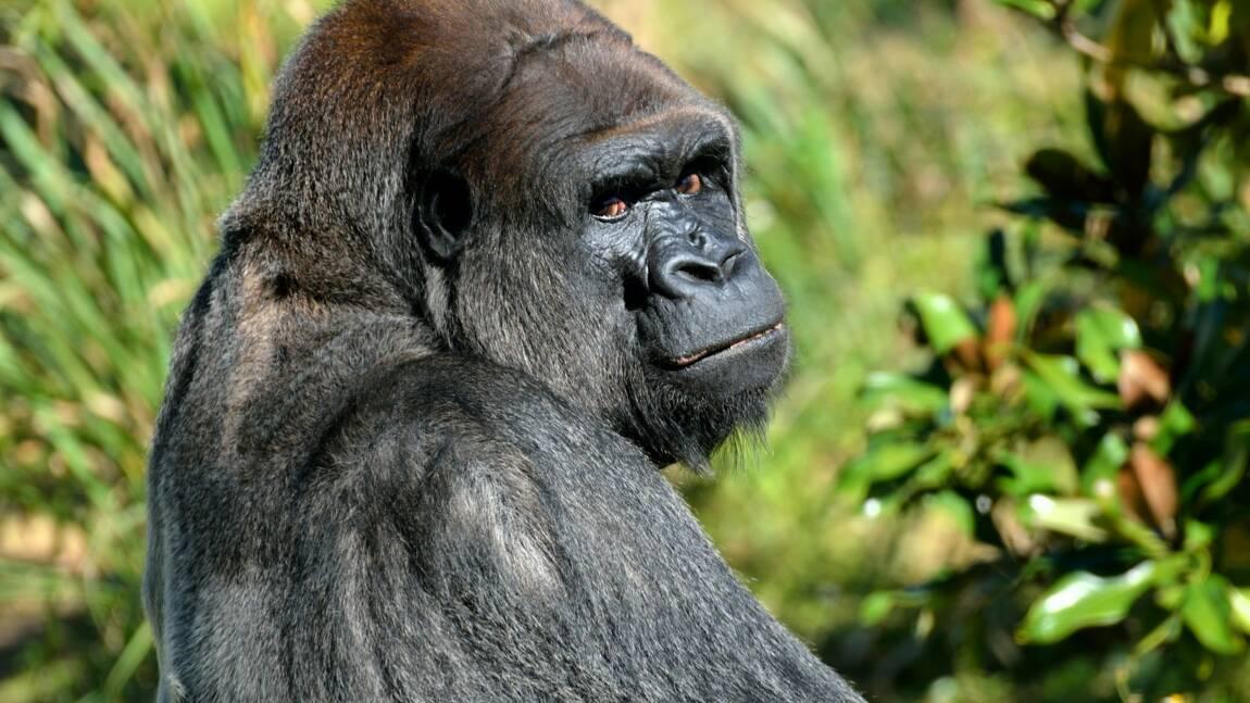 Espagne : une gardienne gravement blessée après l'attaque d'un gorille au zoo de Madrid