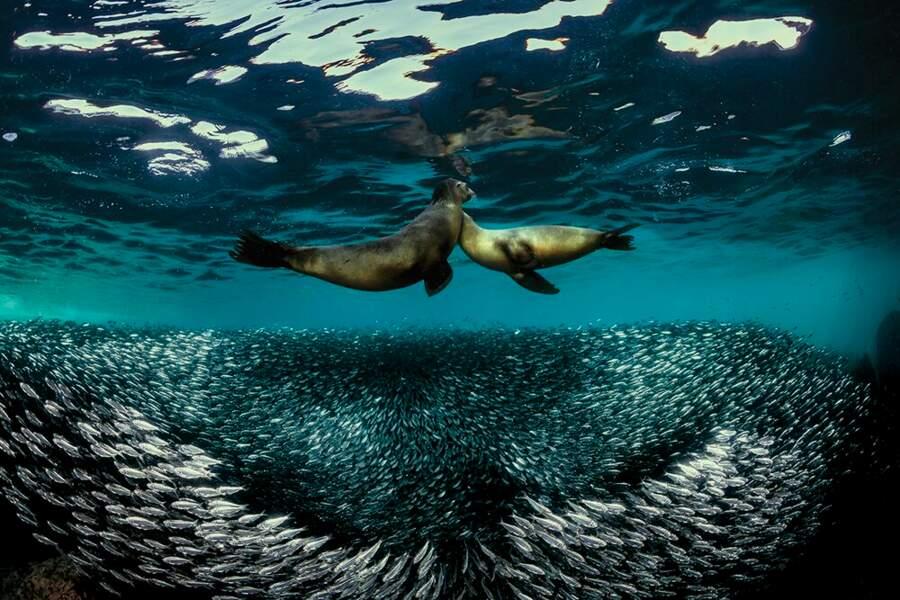 Danse des sardines