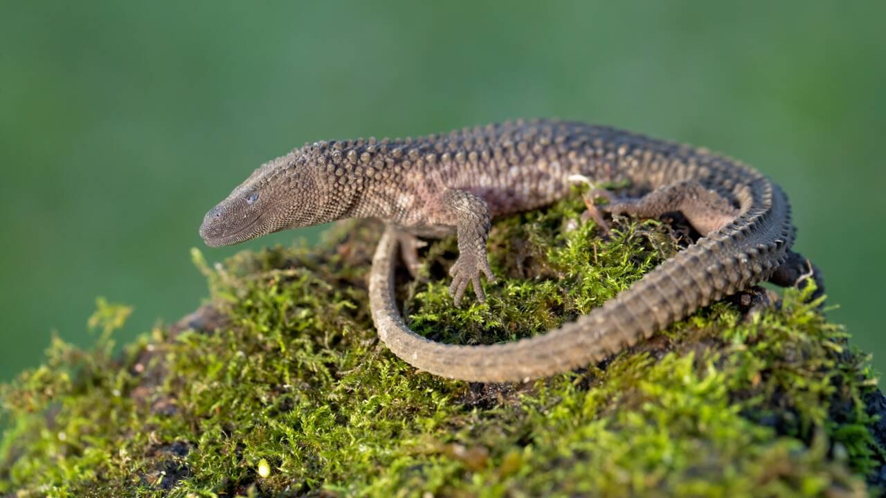 Le commerce non-réglementé des reptiles menace des milliers d'espèces