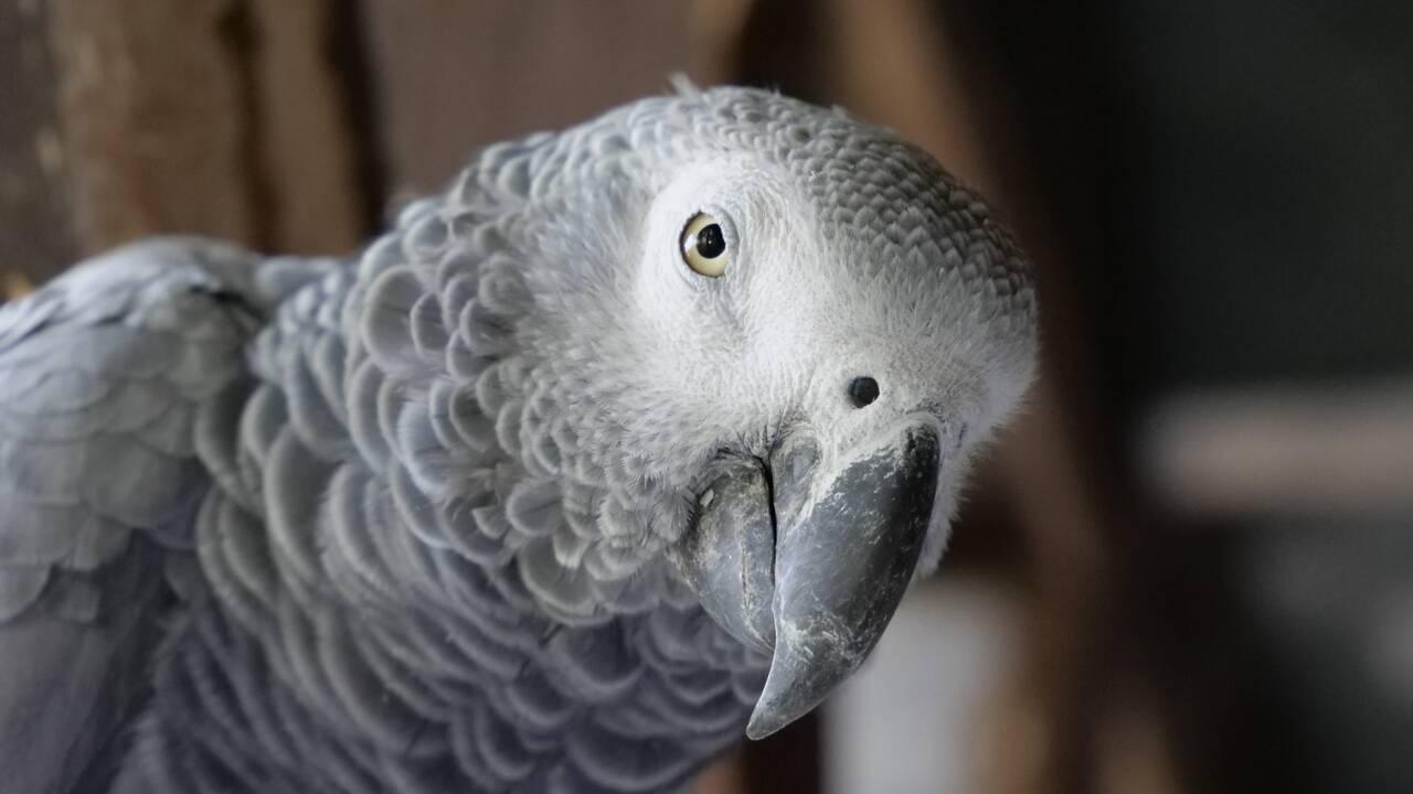 Un parc britannique retire des perroquets qui insultaient les visiteurs