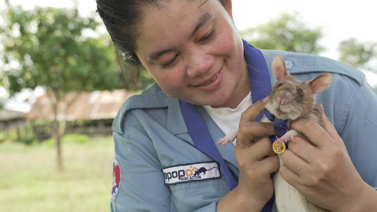 Magawa, le rat géant récompensé pour avoir détecté des mines antipersonnel au Cambodge