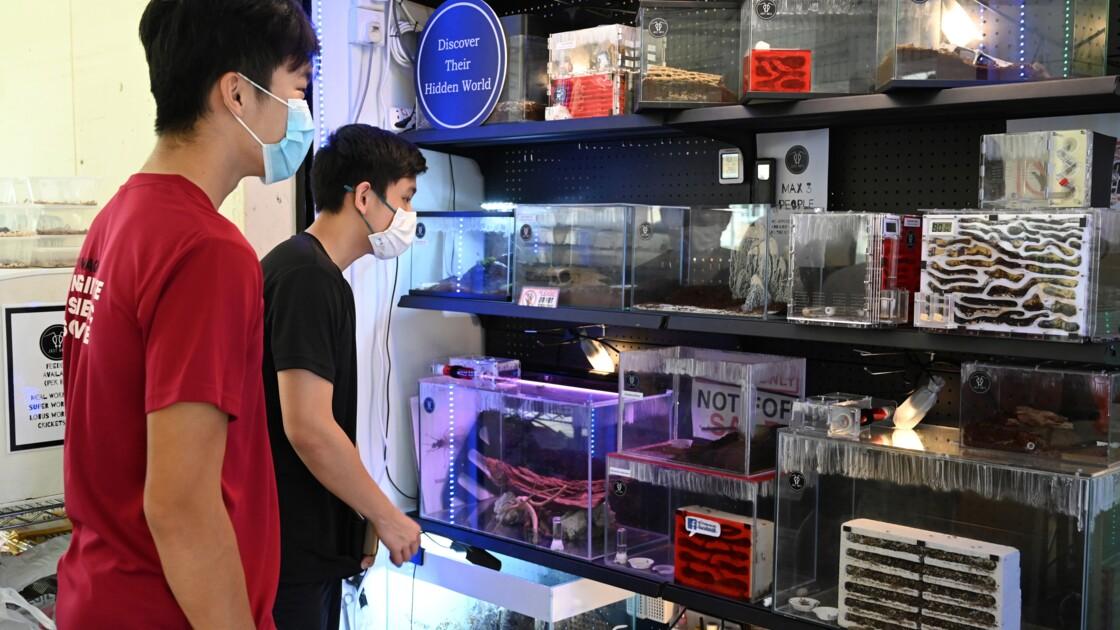 Un Singapourien vend des fourmis comme animaux de compagnie