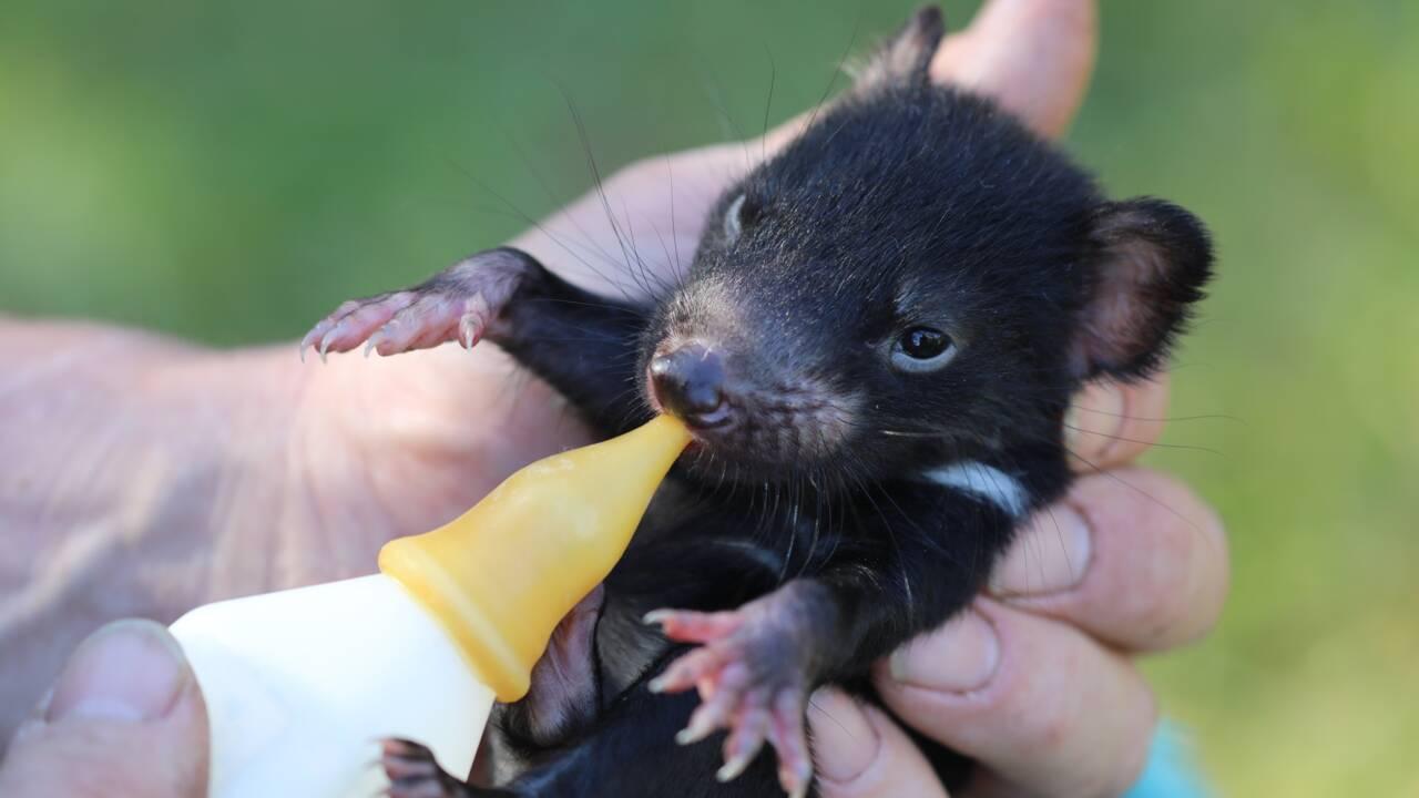 Des diables de Tasmanie réintroduits pour la première fois sur le continent australien