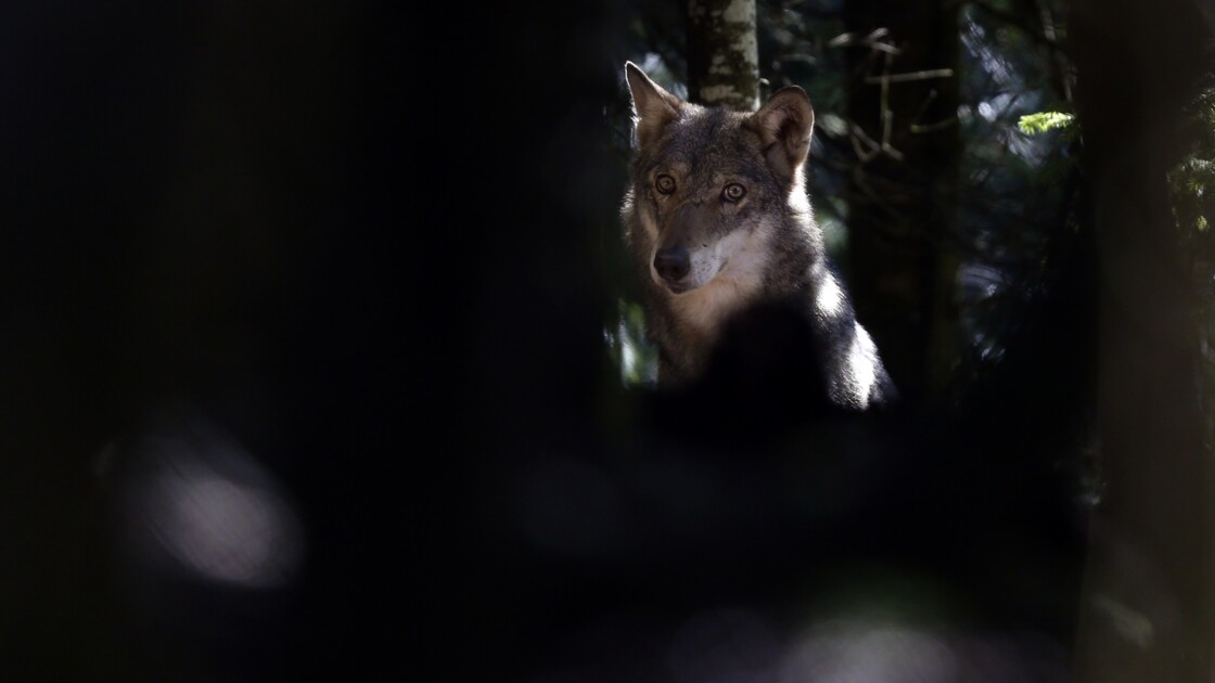 Charente-Maritime: un des trois loups échappés d'un sanctuaire abattu