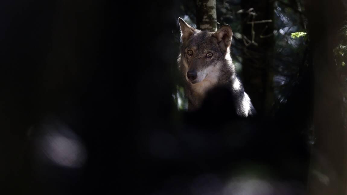 Le nombre d'abattages possibles de loups reconduit pour 2021