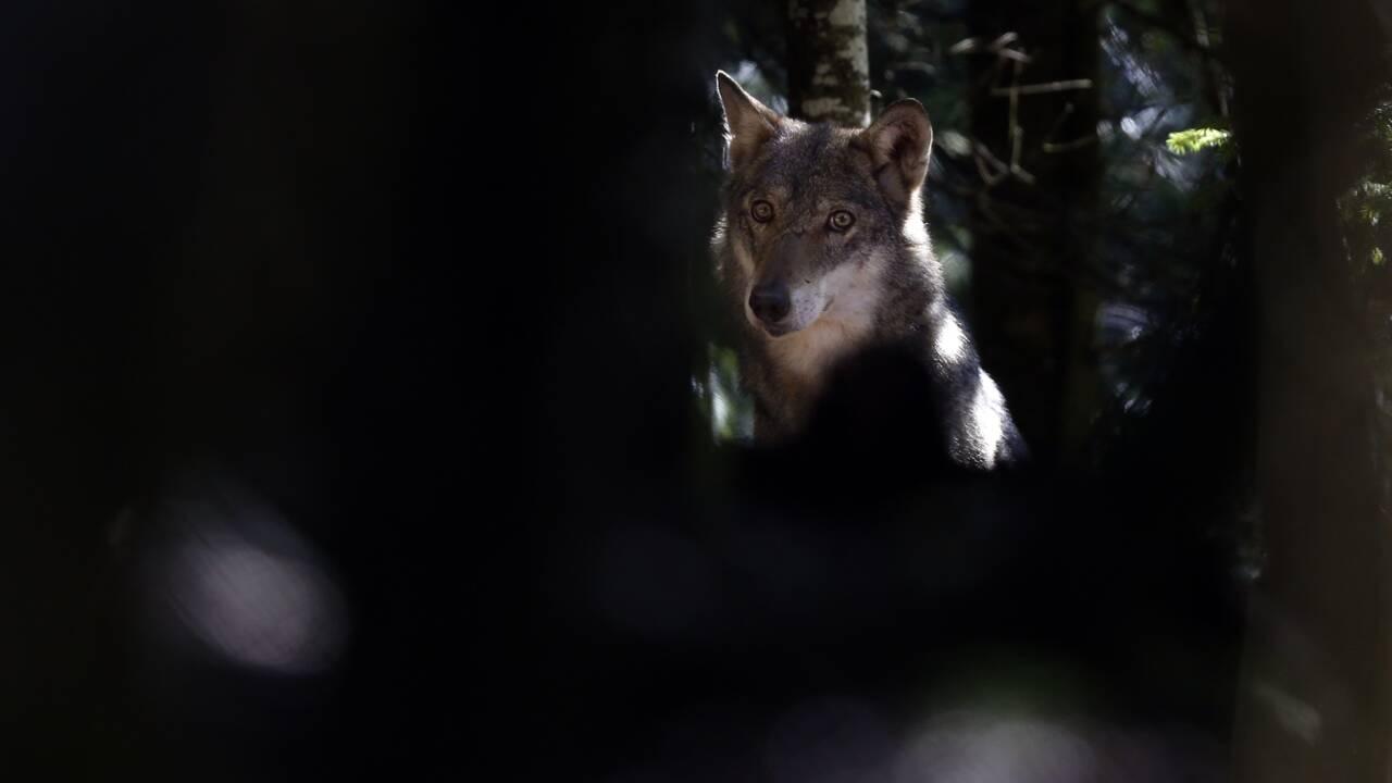 Deux-Sèvres: un des trois loups échappés retrouvé tué sur la route