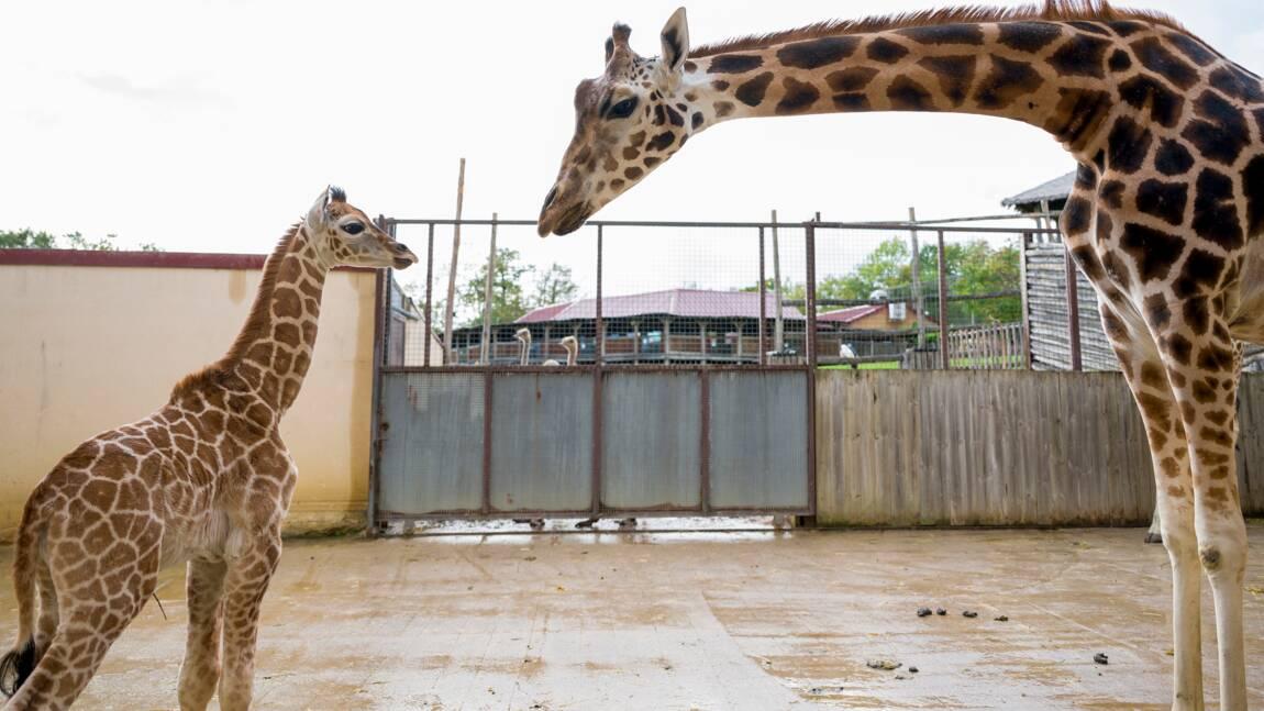 Un girafon d'une sous-espèce rare est né au zoo d'Amnéville
