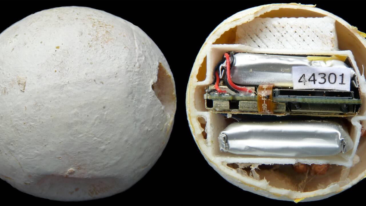 Tortues de mer : des faux œufs géolocalisés pour stopper le trafic illégal