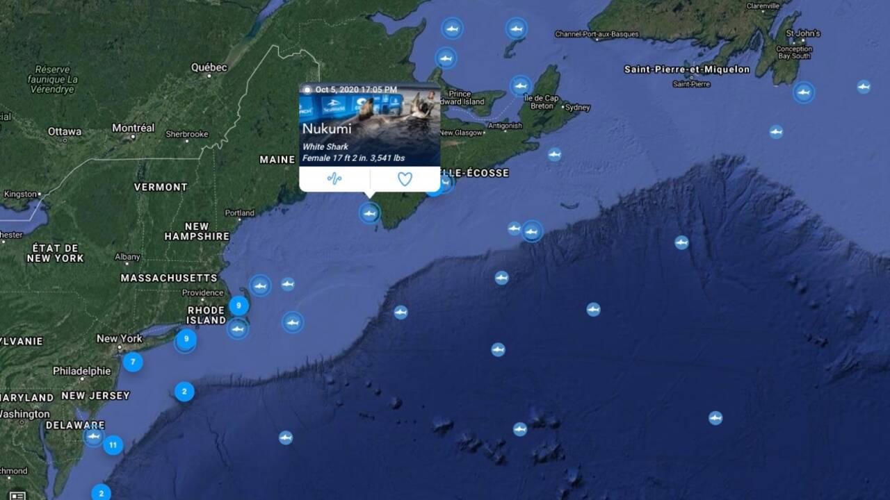 """Suivez Nukumi, cette gigantesque femelle requin blanc surnommée """"Reine de l'océan"""""""