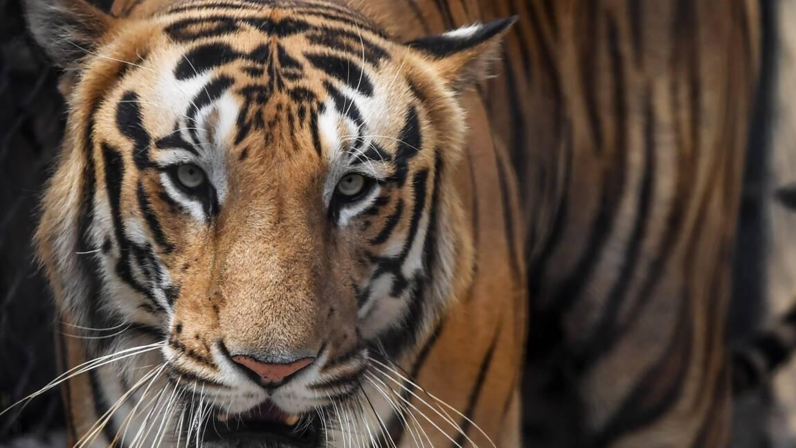Un tigre pourchassé après avoir tué huit personnes en Inde