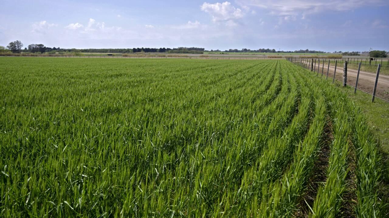 L'Argentine devient le premier pays au monde à autoriser du blé OGM