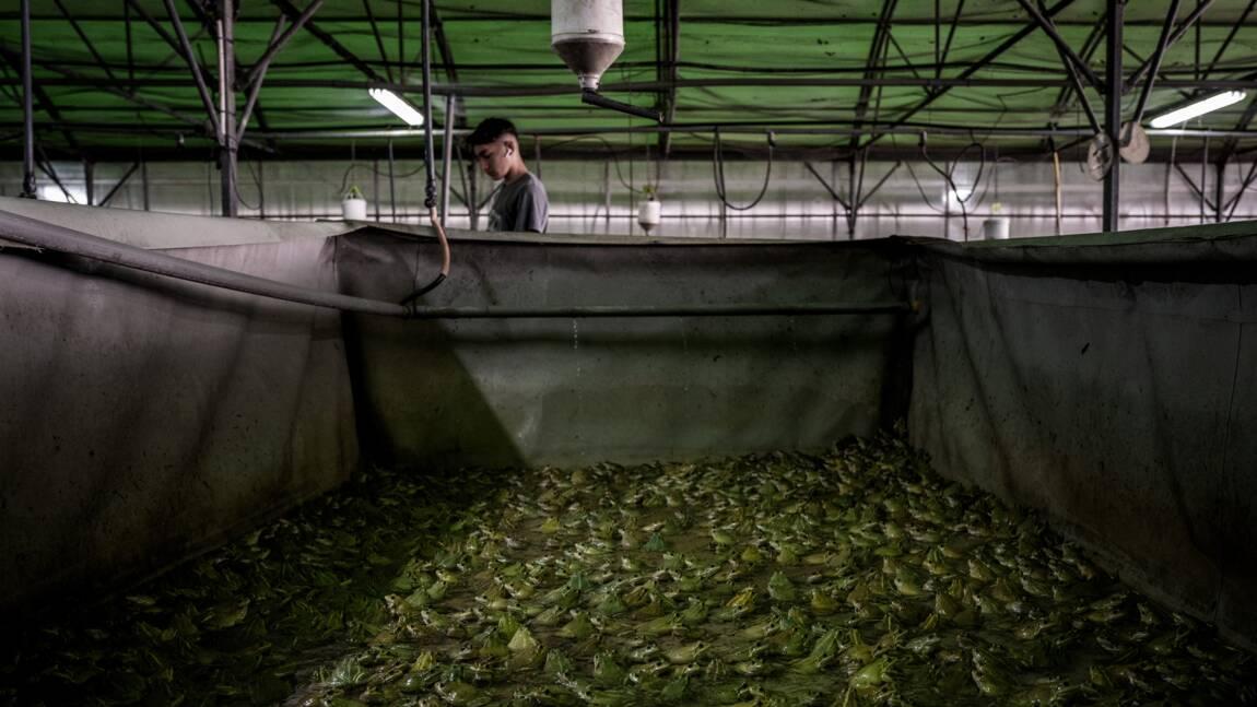 """Les """"Froggies"""" sautent sur les grenouilles françaises... encore trop rares"""