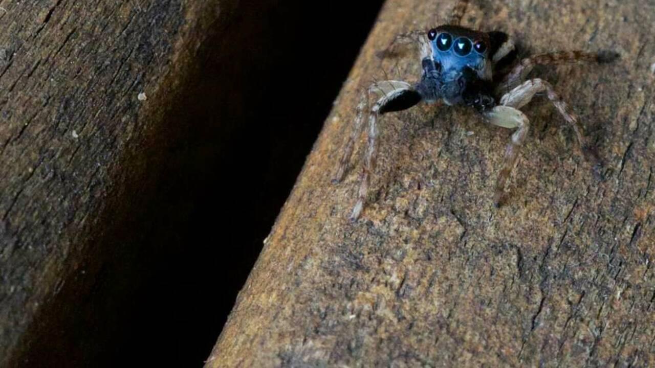 Une Australienne découvre une (adorable) nouvelle espèce d'araignée... dans son jardin