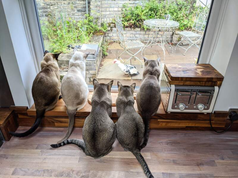 """Ces cinq """"tonkinese cats"""" regardent leur dîner passer devant la fenêtre de la cuisine"""
