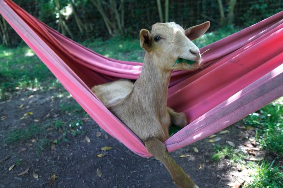 A Olot, en Espagne : c'est une chèvre qui se balançait...