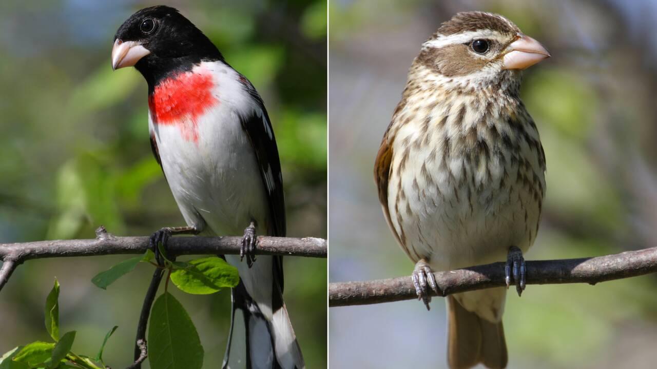 Un rare oiseau mi-mâle mi-femelle découvert en Pennsylvanie