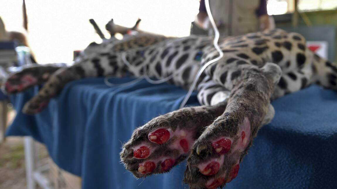 Brésil : une ONG recueille un jaguar meurtri par les flammes du Pantanal