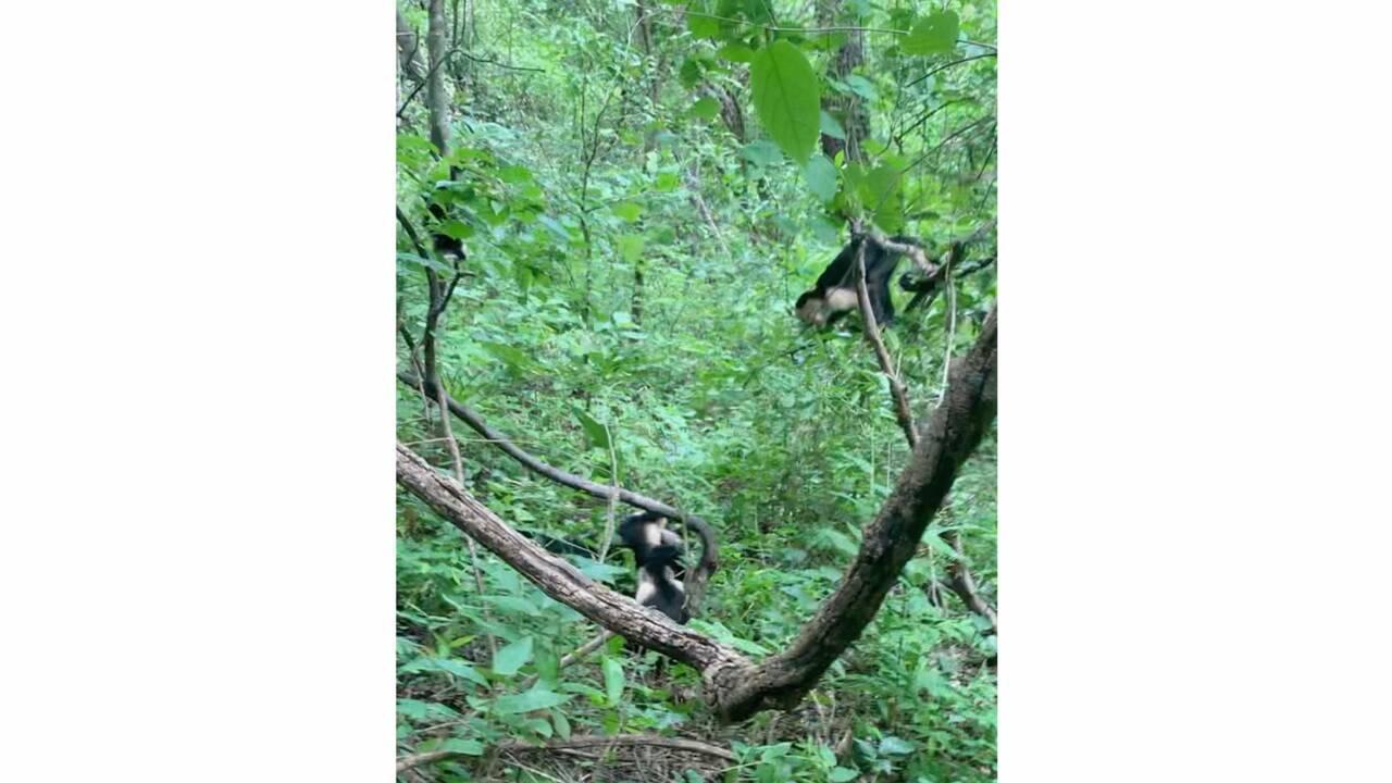 Quand des capucins s'allient pour sauver un congénère d'un boa constrictor