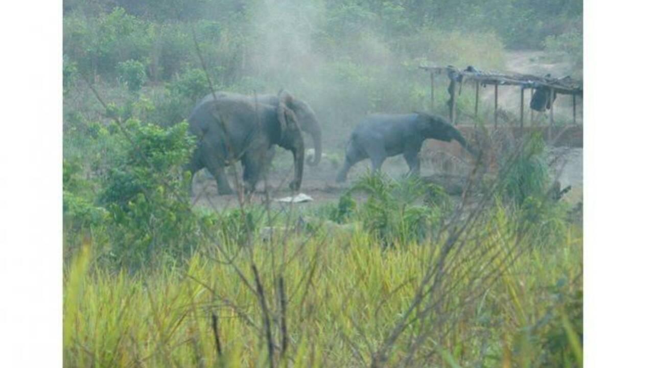 """La Côte d'Ivoire assiste à """"l'extinction massive"""" de ses éléphants de forêt"""