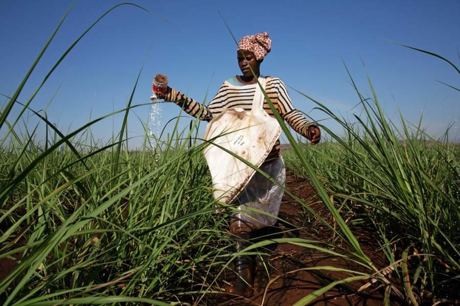 Dans les champs de canne à sucre