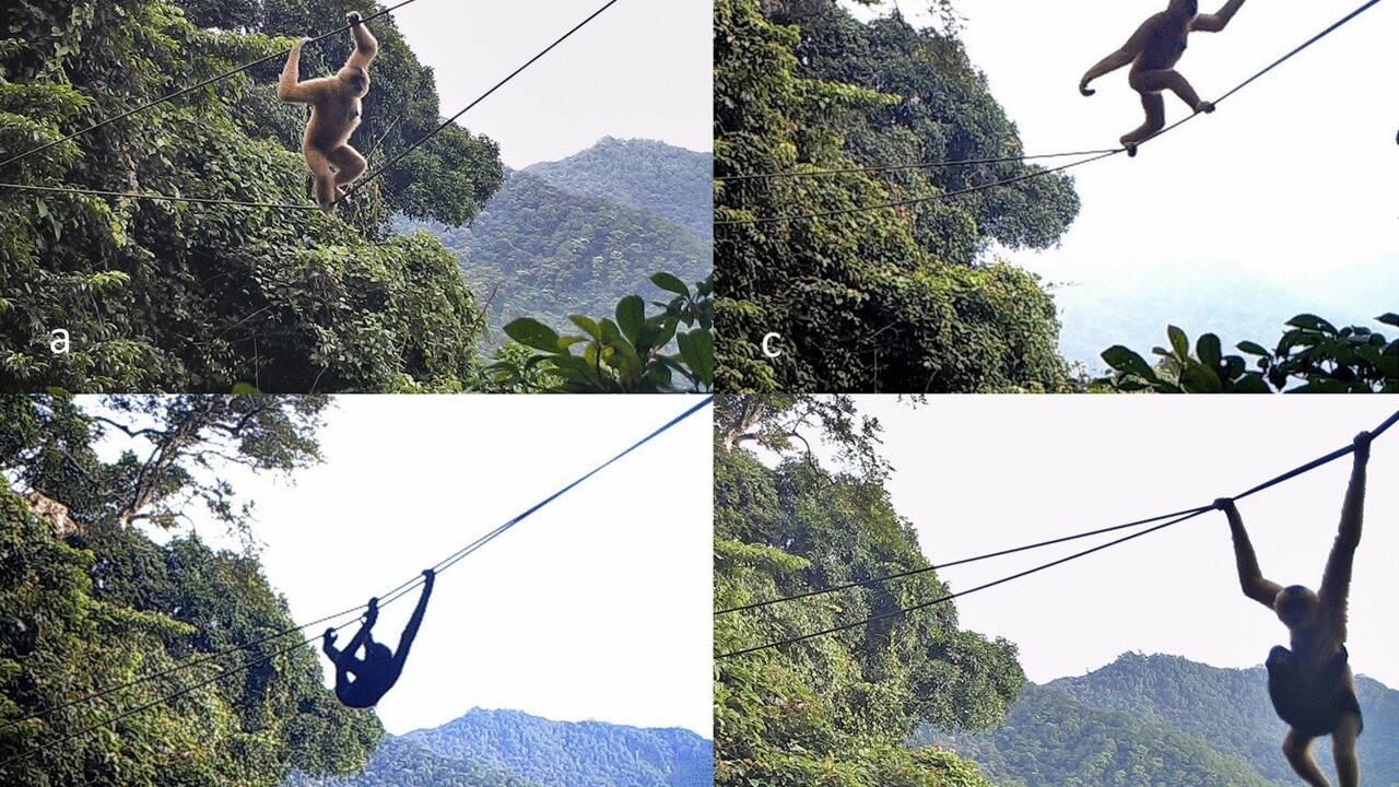 """Ce """"pont"""" installé en pleine forêt pourrait aider à sauver un primate de l'extinction"""