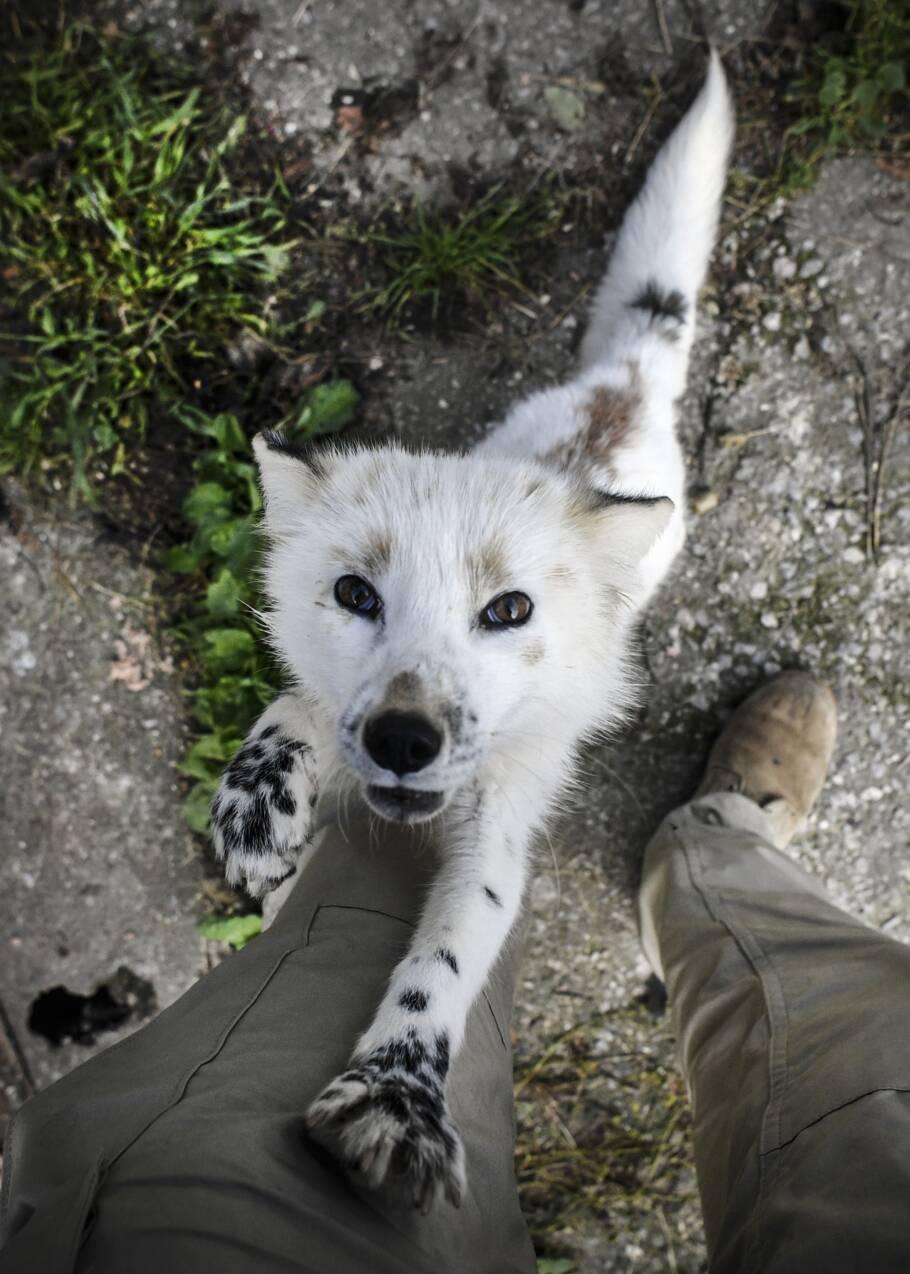 En Sibérie, des renards apprivoisés interrogent la science