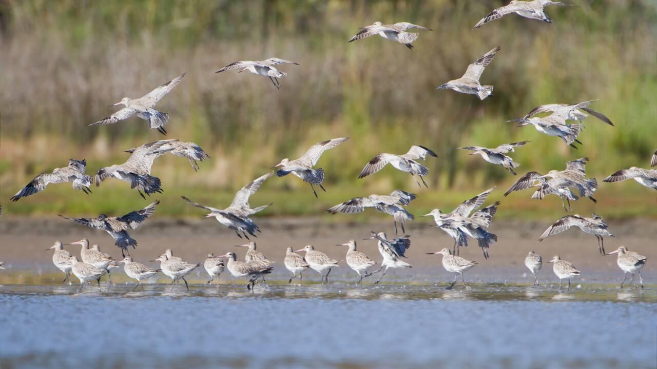 Un oiseau bat le record de migration ininterrompue entre l'Alaska et la Nouvelle-Zélande