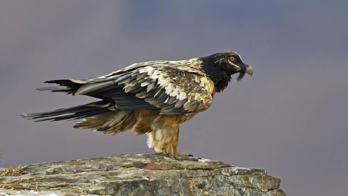 Ce rare gypaète barbu observé dans le ciel du Royaume-Uni serait né dans les Alpes françaises