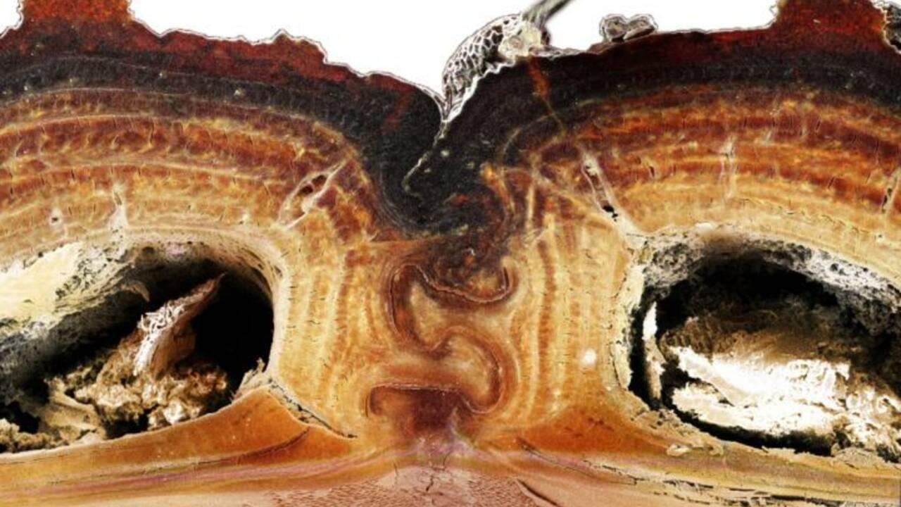 """Les secrets d'un """"scarabée diabolique"""" à la carapace ultra-résistante enfin percés"""