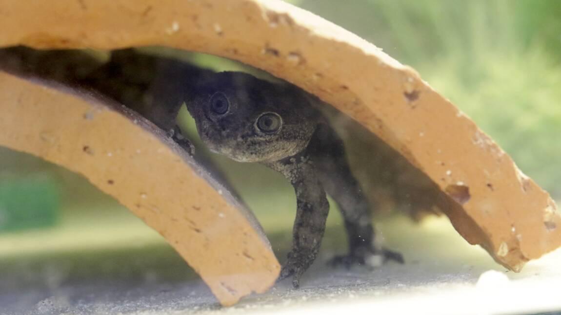 Chili : une rare espèce de grenouille sauvée in extremis de la disparition