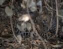 Brésil: rescapé des flammes, un jaguar retrouve son Pantanal
