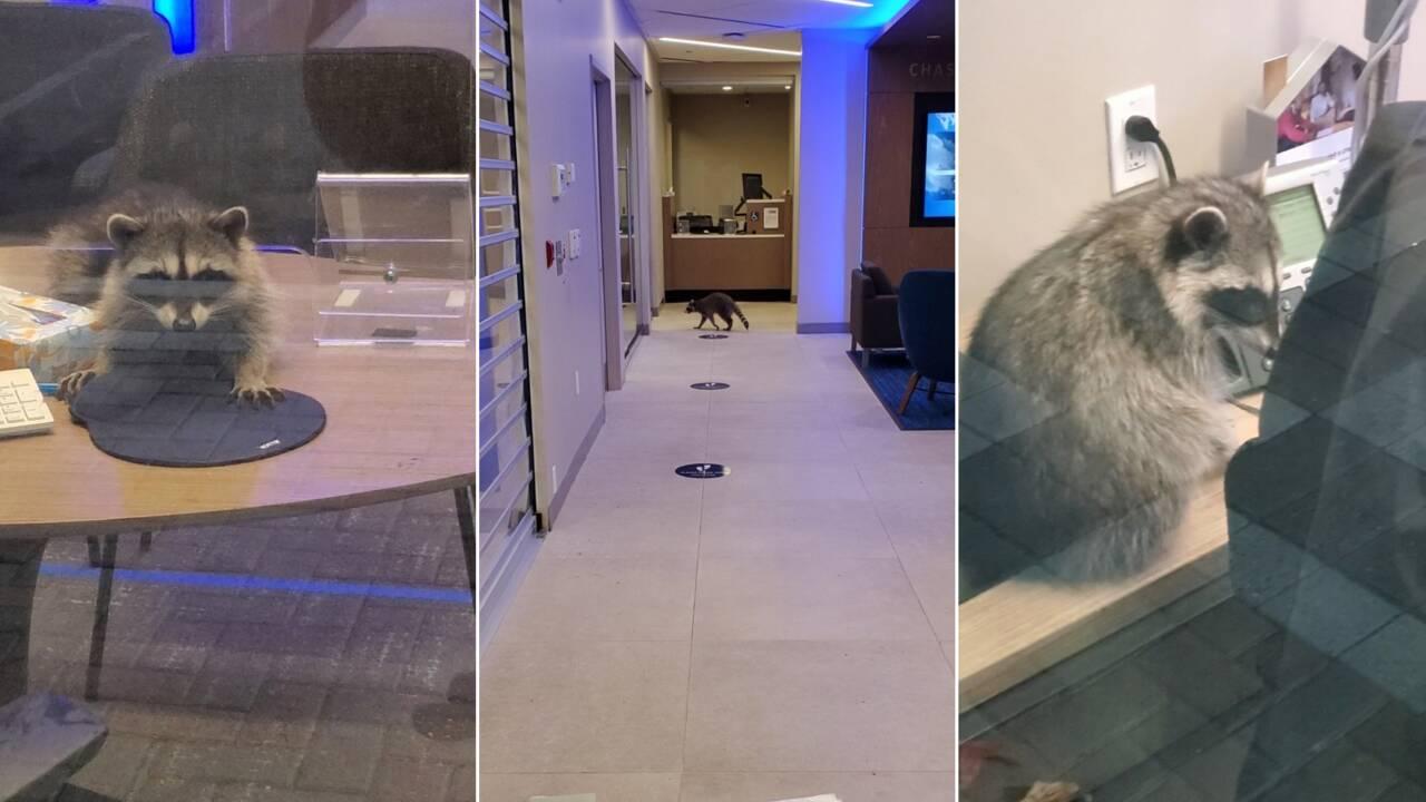 Quand des ratons-laveurs sèment la pagaille dans une banque en Californie