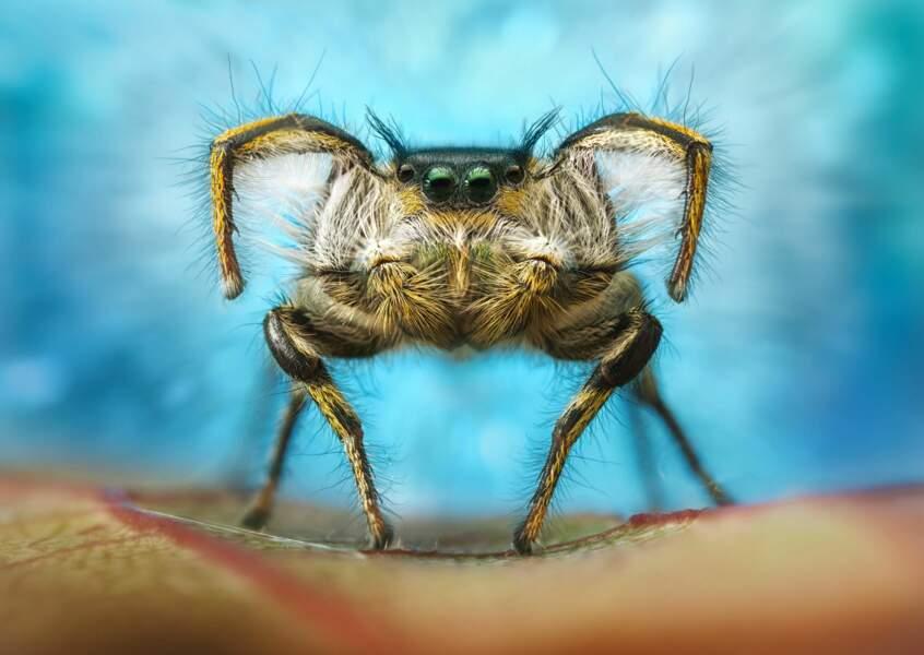 Araignée danseuse
