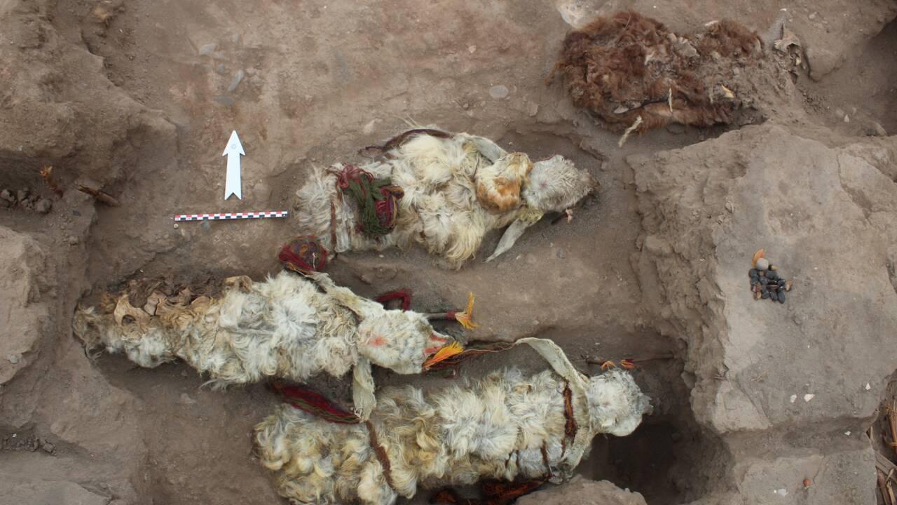 Ces lamas momifiés auraient servi de sacrifices aux dieux incas il y a 500 ans