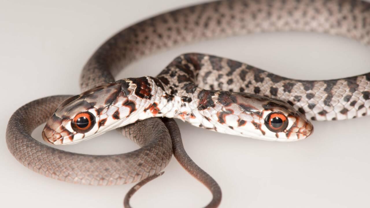 Une Américaine découvre un serpent à deux têtes dans son salon ramené par son chat