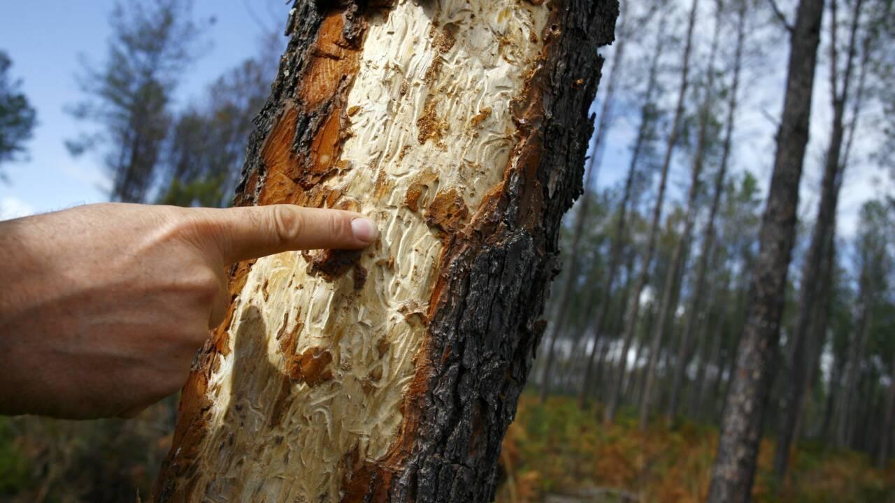 Forêts: la crise des scolytes s'étend et redouble d'intensité