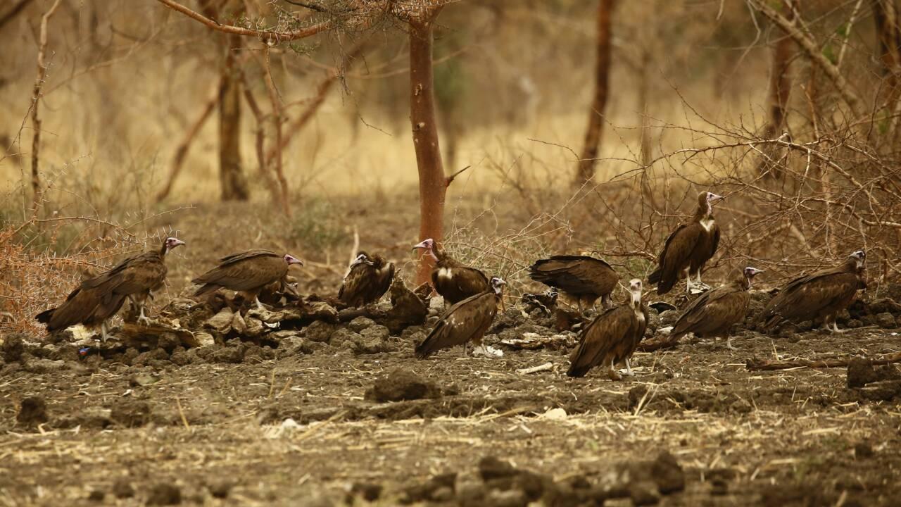 Botswana: des dizaines de vautours, une espèce menacée, retrouvés morts