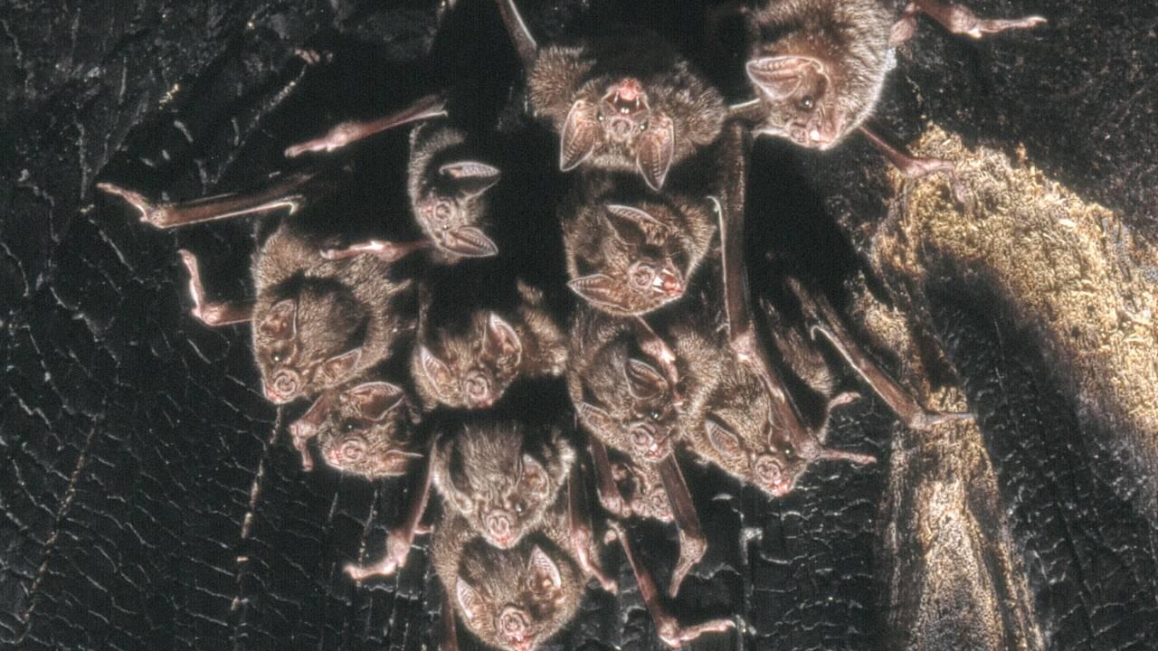 Quand elles se sentent malades, les chauves-souris vampires aussi pratiquent la distanciation sociale