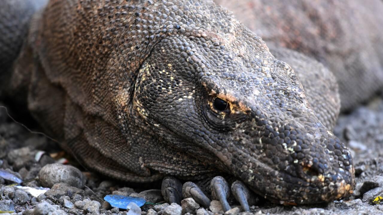 """En Indonésie, un projet de """"Jurassic Park"""" pour le dragon de Komodo fait polémique"""