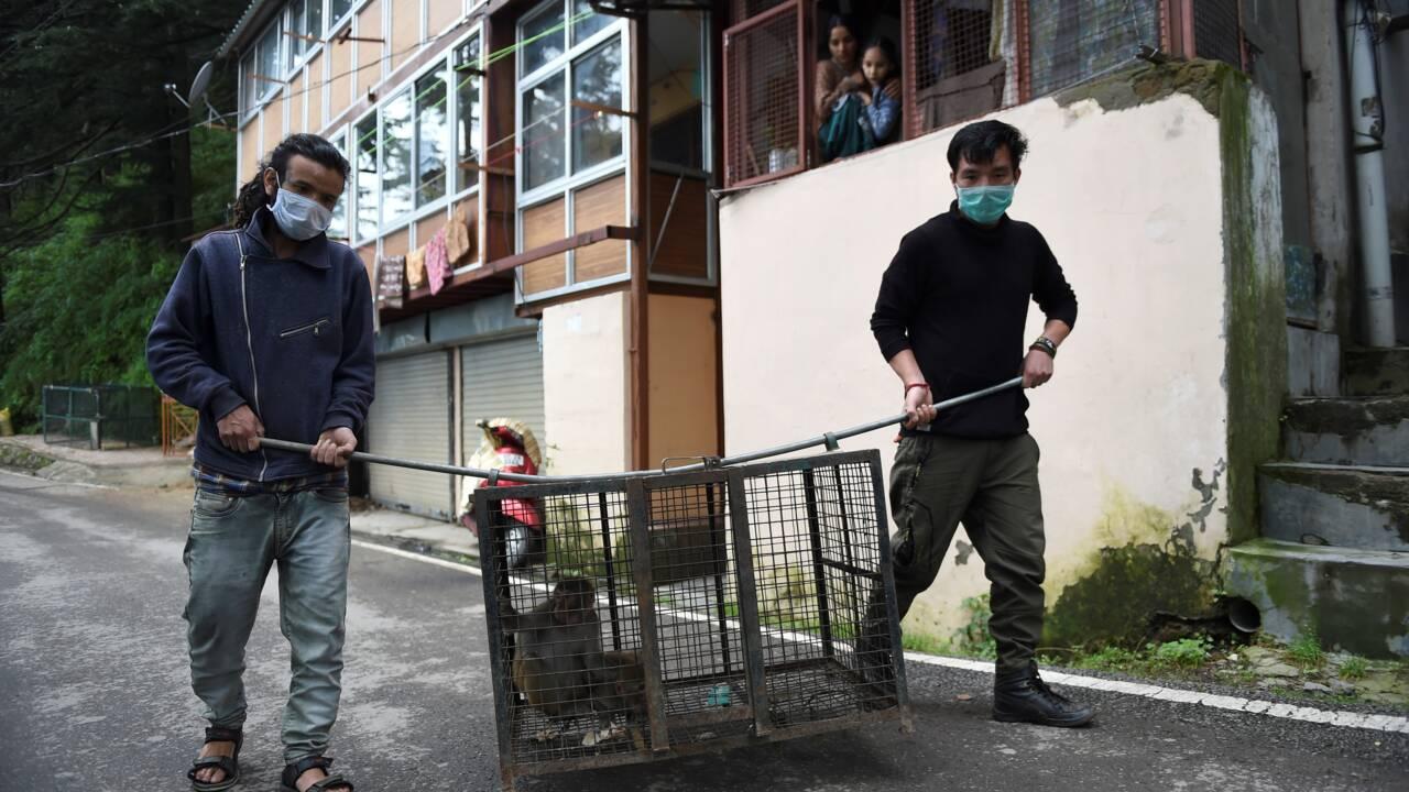 Des milliers de singes affamés et agressifs terrorisent une ville indienne