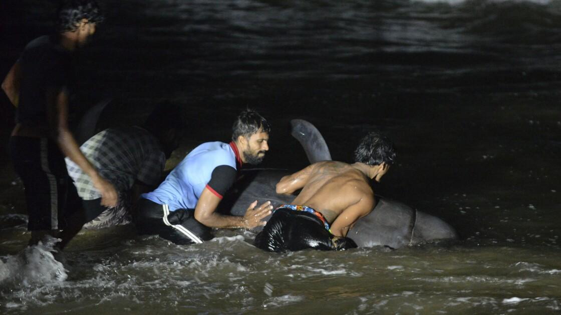 Course contre la montre au Sri Lanka pour sauver une centaine de globicéphales échoués